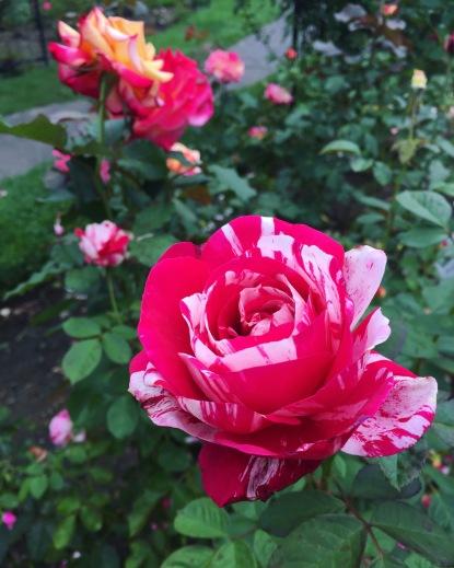 rose-garden